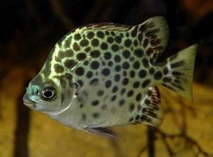 Аргус - аквариумные рыбы - всё о жизни в аквариуме: рыбки ...